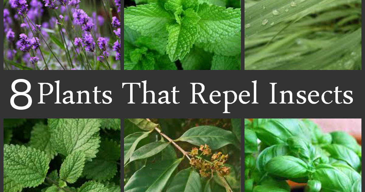 Repel mosquitoes naturally with these 8 plants for What plants naturally repel mosquitoes