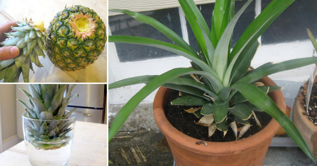 How To Grow Your Own Pineapple At Home Daily Health Post
