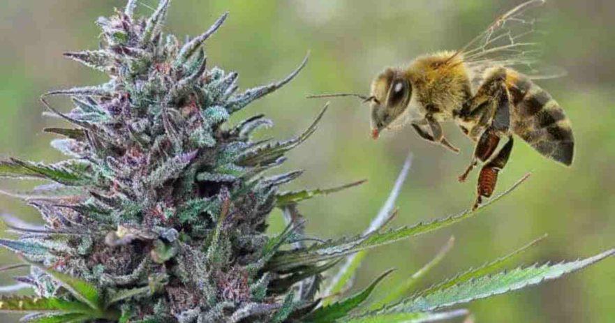 bees cannabis